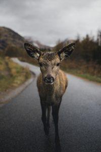 scotland-deer